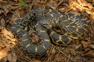 Bullsnake | by C. harrisoni