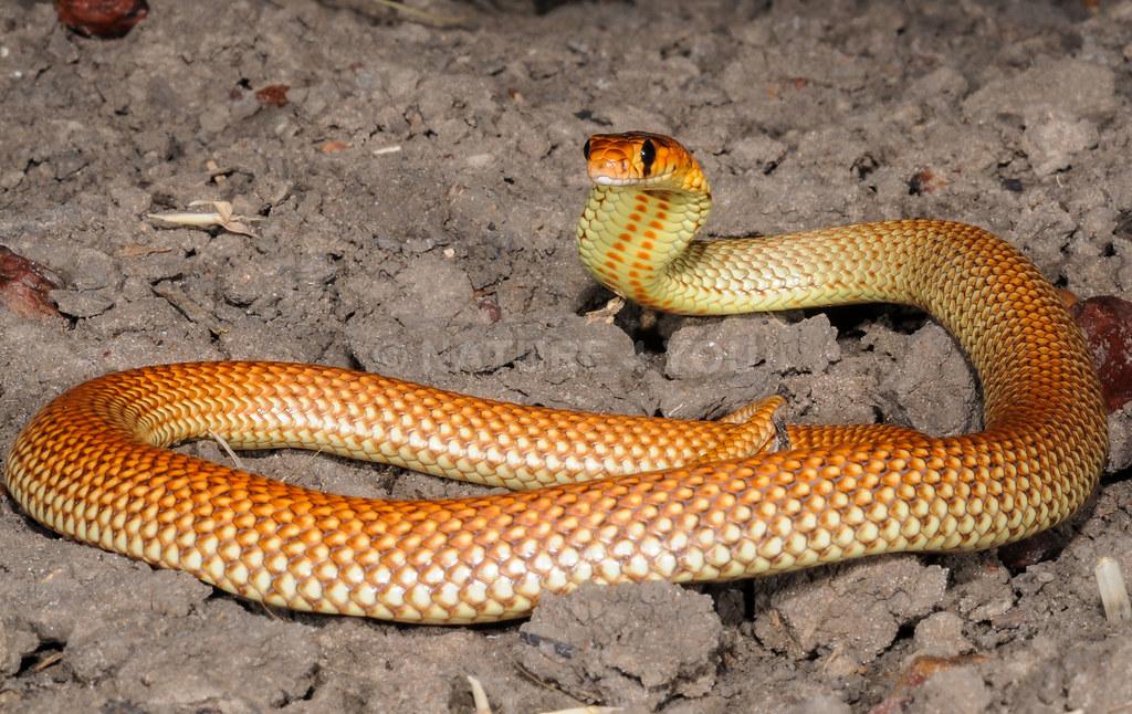 Ingram's Brown Snake Pseudonaja ingrami