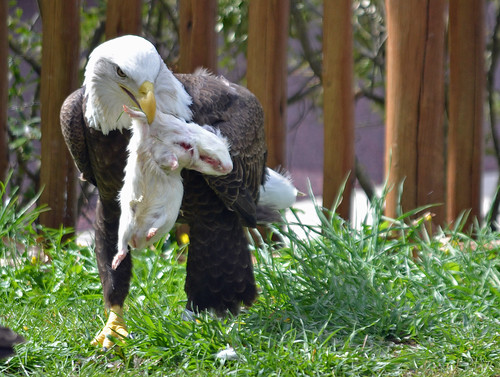 zoo rodent eagle eating baldeagle raptor hunter prey epz