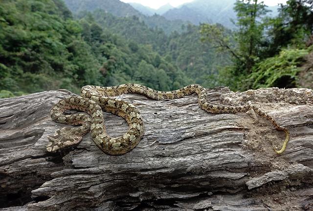Horned Pit-viper (Protobothrops cornutus)