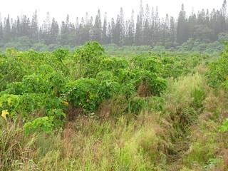 starr-120717-8800-Jatropha_curcas-plantation-Hilo-Hawaii