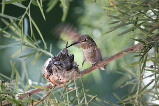Anna's hummingbird with babies. | by Alexandra Rudge. Peace & love!