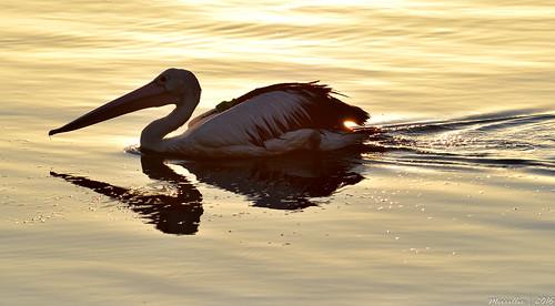 pink sea nature water birds animals fauna sunrise reflections outdoors dawn bay nikon scenery waterfront wildlife australia pelican nsw daybreak brisbanewater woywoy d5500 nswcentralcoast centralcoastnsw