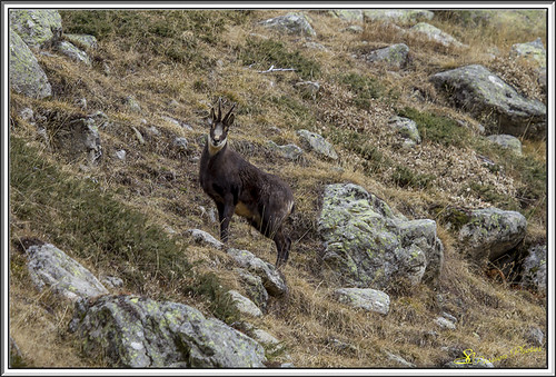 Chamois 01 | by sc.syl07