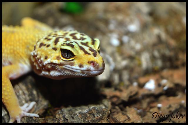 gecko perfil