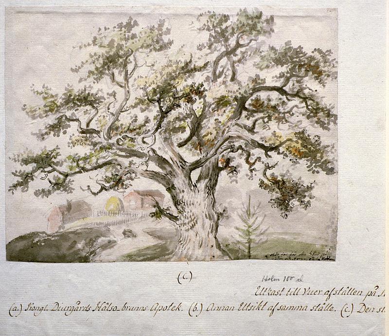 Old oak tree, Djurgården, Stockholm, Sweden
