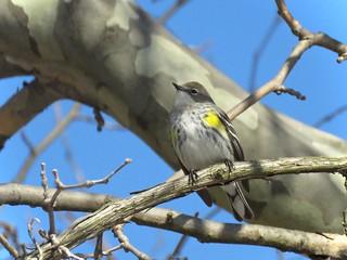 Yellow-rumped Warbler | by Justin Lee (NoNameKey)
