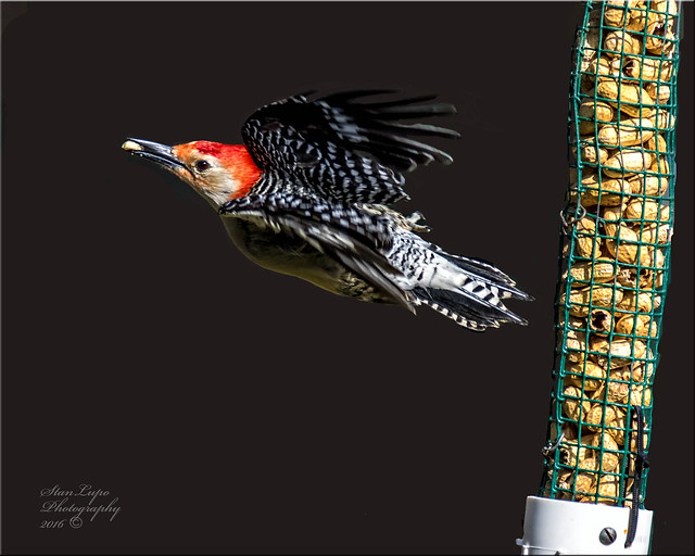 Red-bellied Woodpecker With Peanut