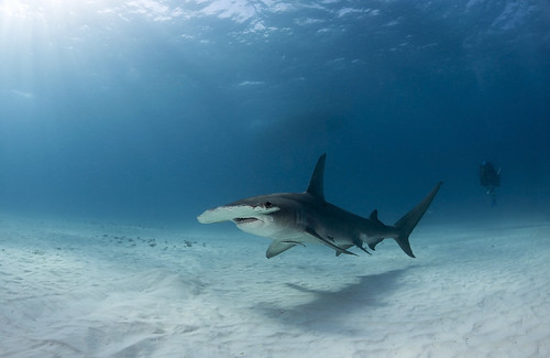 Great Hammerhead at Bimini | by Alastair Pollock