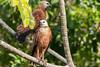 Black-collared Hawk | Gavilán Colorado (Busarellus nigricollis nigricollis) by ferjflores