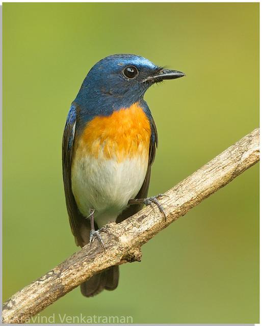 Blue Throated Blue Flycatcher