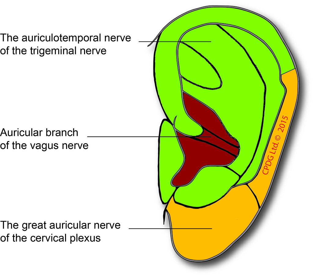 ear nerves picture