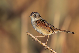 Swamp Sparrow | by Greg Lavaty Photography