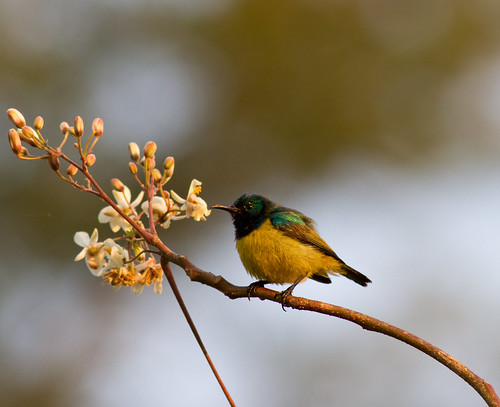 Collared Sunbird. Male | by Nydiaso.