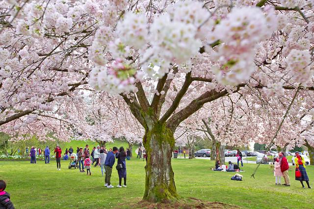 Cherry Blossoms @ Queen Elizabeth Park