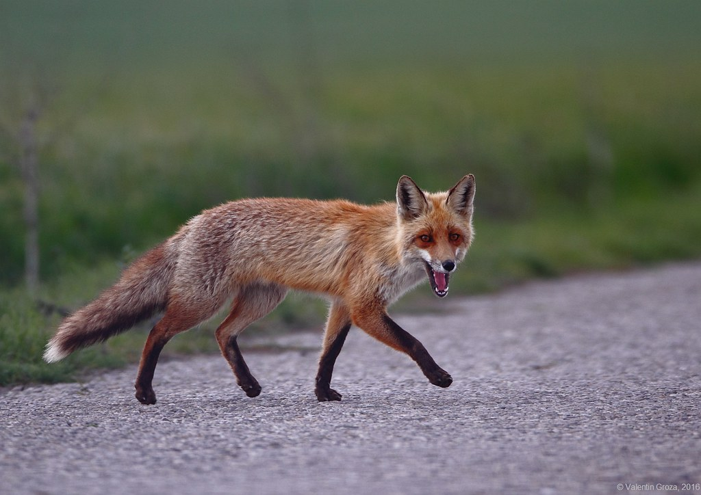 wild red fox 6