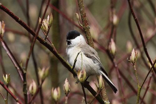 Marsh Tit | by Chris B@rlow