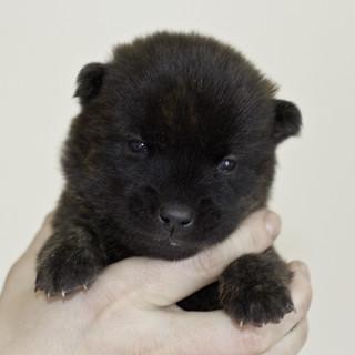 Kumi-Litter5-Day20-Puppy5-Male-a | by brada1878