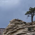 Ponderosa Pine on slickrock