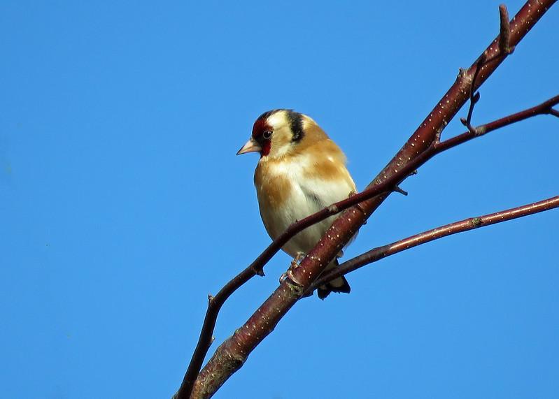 Goldfinch -Carduelis carduelis