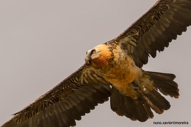 Quebra-ossos, Bearded vulture(Gypaetus barbatus)