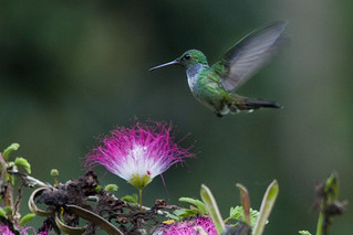 Amazilia amabilis / Blue-chested hummingbird | by LeShello