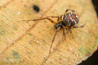 Comb-footed spider (Theridion sp.) - DSC_5993