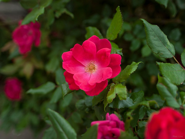 Knockout Red Rose
