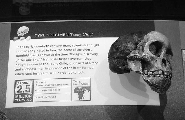 Australopithicus africanus 8896
