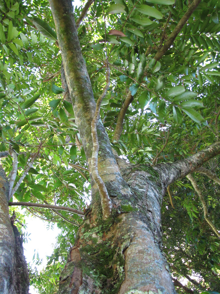 starr-091104-9175-Carapa_guianensis-trunk_and_canopy-Kahanu_Gardens_NTBG_Kaeleku_Hana-Maui