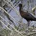 White faces ibis on a branch at Lake Apopka Wildlife Drive March 2016