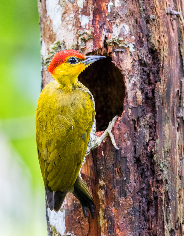 Yellow-throated Woodpecker working on a hole