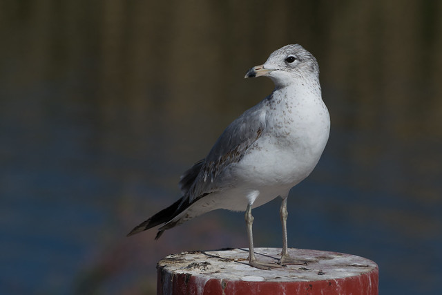 Ring-billed gull on pole