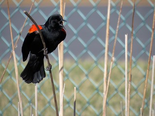 Red-winged Blackbird | by Justin Lee (NoNameKey)