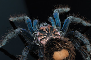 Xenesthis sp. blue | by mygale.de