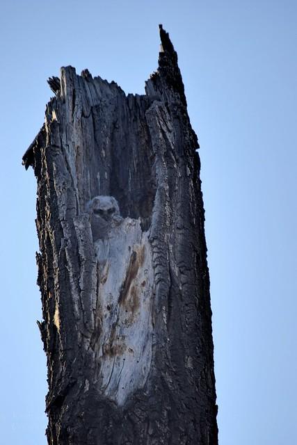 Great horned Owlet - Bubo virginianus