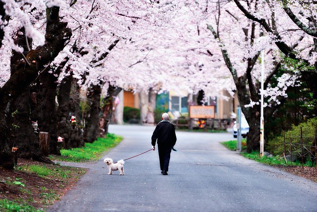 114/366 : Under the cherry blossoms