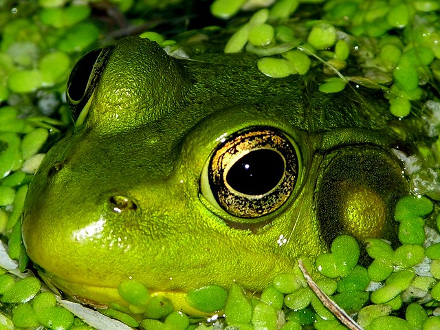 Frog in Pond (Flickr Explore #227!)
