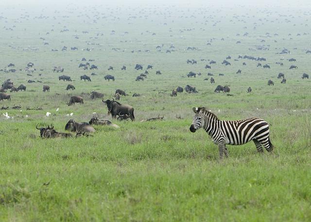 Zebra in the Serengeti Wildebeest Migration