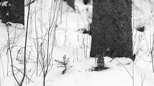 wood winter blackandwhite bw food snow canada tree squirrel noiretblanc bokeh magog hiver seeds tokina québec fujifilm neige arbre parc nourriture forêt bois graines estrie xt1 tokinaatx90mm25 maraisdelarivièreauxcerises