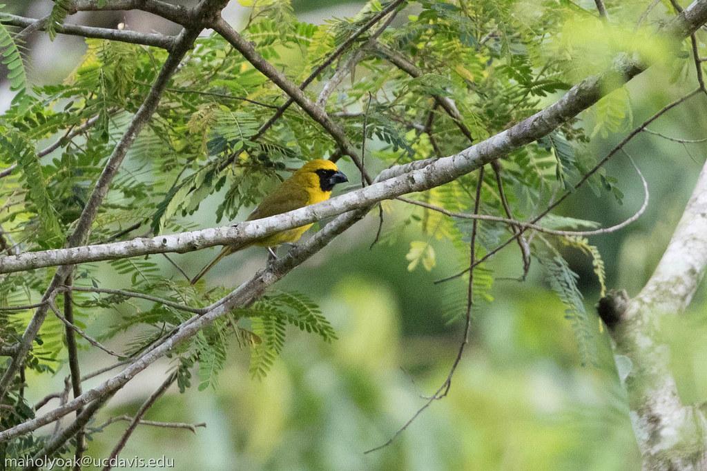 Yellow-green Grosbeak (Caryothraustes canadensis), Boa Vista, Bahia, BR, 20160123-101.jpg