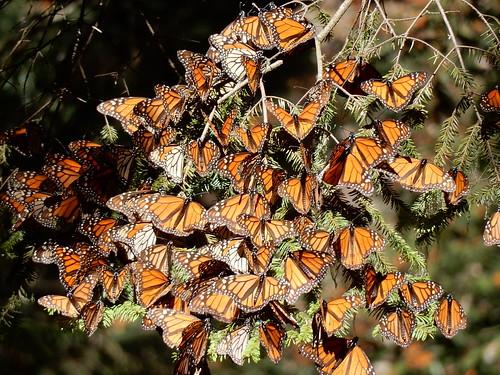 Reserva Mariposa Monarca - 7