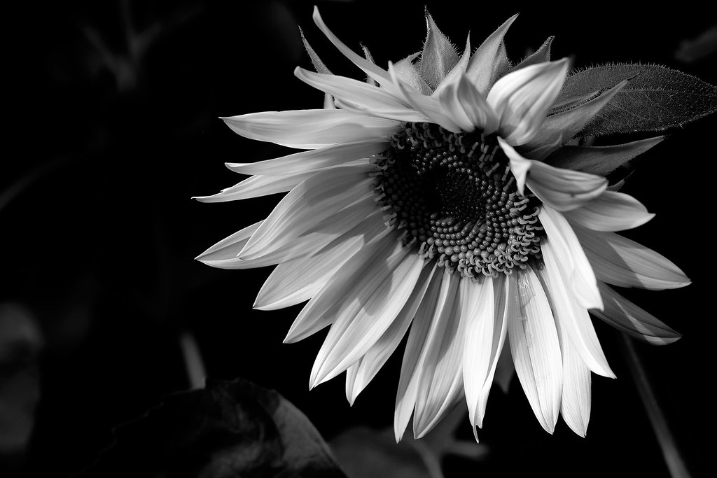 Beautiful sunflower B&W | Dzung Viet Le | Flickr