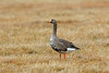 Greater White-fronted Goose, Barrow, North Slope, Alaska by Terathopius