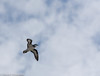 Black-Winged Petrel by Stewart M