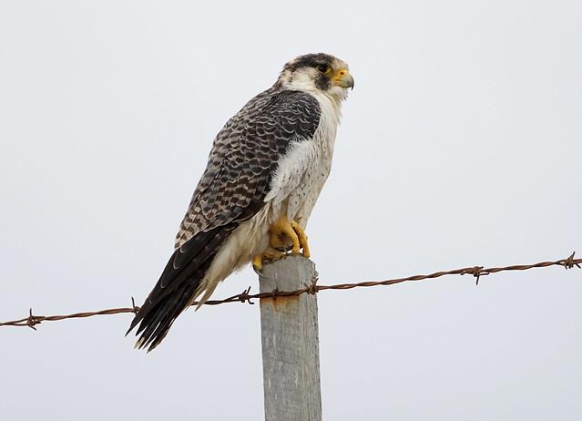 Halcón Peregrino / Falco Peregrinus / Peregrine Falcon
