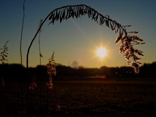 japan sunrise 50mm atsugi canadagoldenrod セイタカアワダチソウ solidagoaltissima 20160101