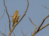 White-eyed Buzzard (Butastur teesa) by Rahul V Chavan