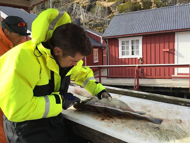 Partiendo el bacalao en Islas Lofoten (Noruega)