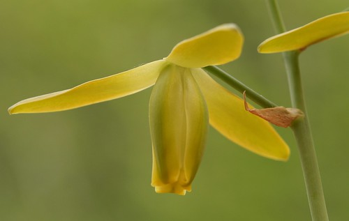 Albuca namaquensis (N0893) | by Eric Barbier